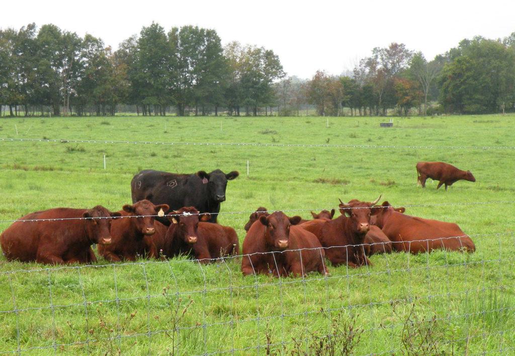 Greetings from the Pasture by Nava Atlas: Steer in field